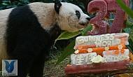 Hồng Kông: Chú gấu già nhất thế giới đón sinh nhật ở Ocean Park